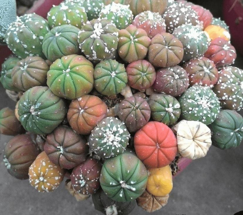 Astrophytum astericus